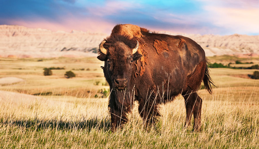 The American bison bull on a grass field