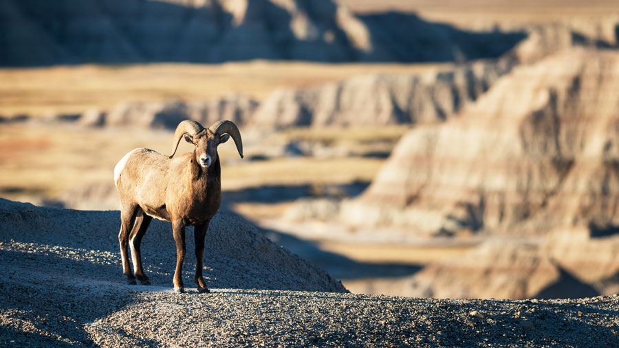 View of a bighorn sheep in Badlands National Park